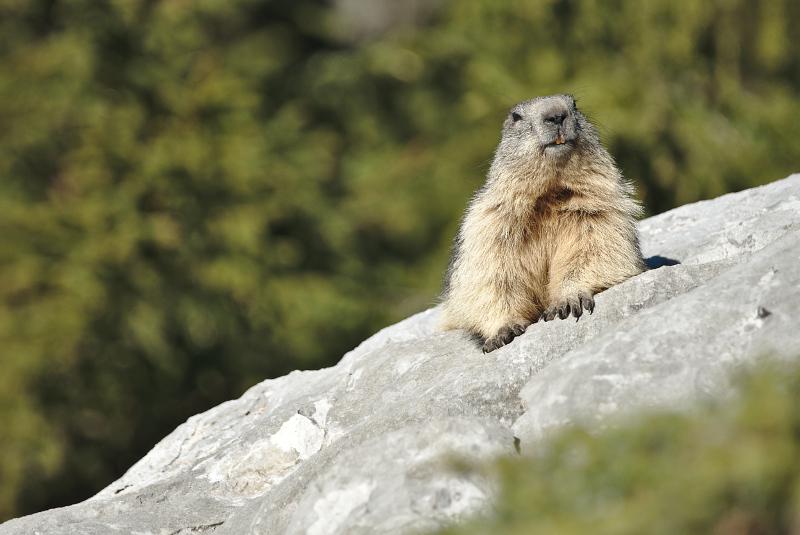 Quelques visions en nature - Cache cache avec les marmottes -  12/07 - Page 2 Marmot22