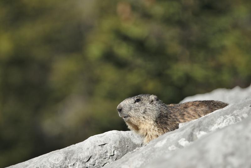Quelques visions en nature - Cache cache avec les marmottes -  12/07 - Page 2 Marmot23