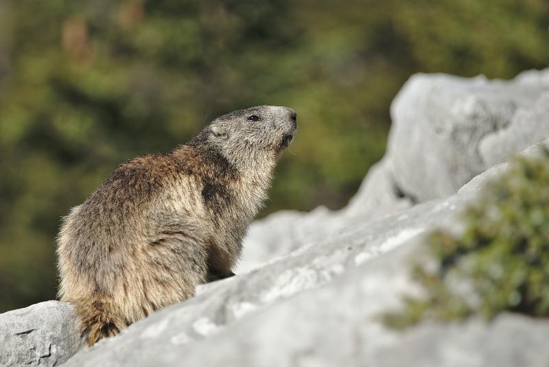 Quelques visions en nature - Cache cache avec les marmottes -  12/07 - Page 2 Marmot24