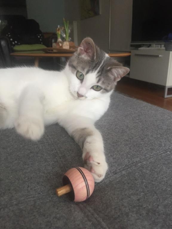 OXYGENE chatonne européenne blanche et grise née le 1/8/18 1df5c810
