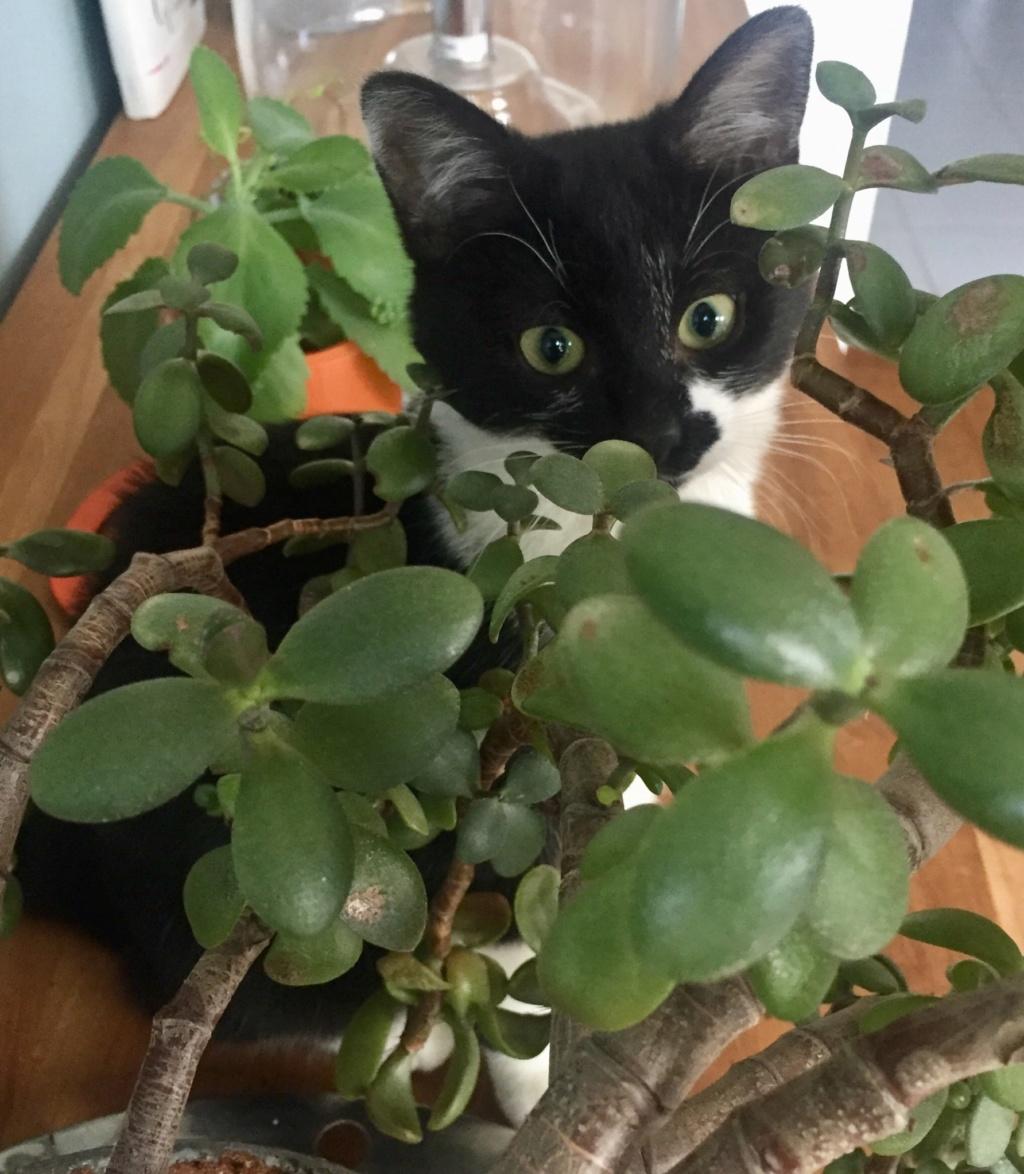 PEPITE, chatonne noire et blanche,  née le 02/07/2019 A8dee110