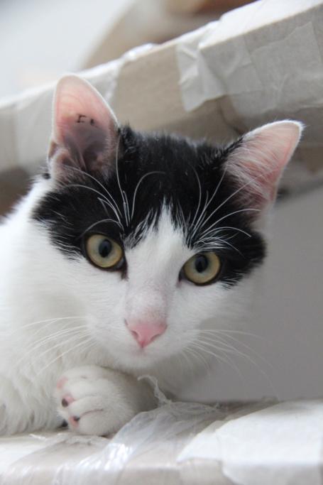 Obéron, chaton européen noir et blanc, né le 10/05/2018 Img_0218