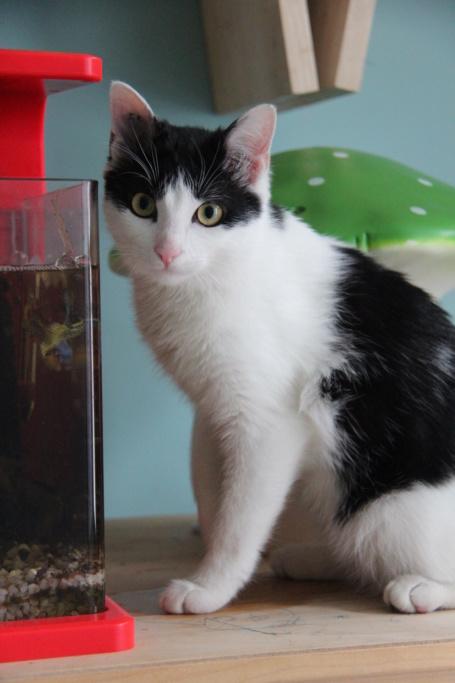 Obéron, chaton européen noir et blanc, né le 10/05/2018 Img_0219