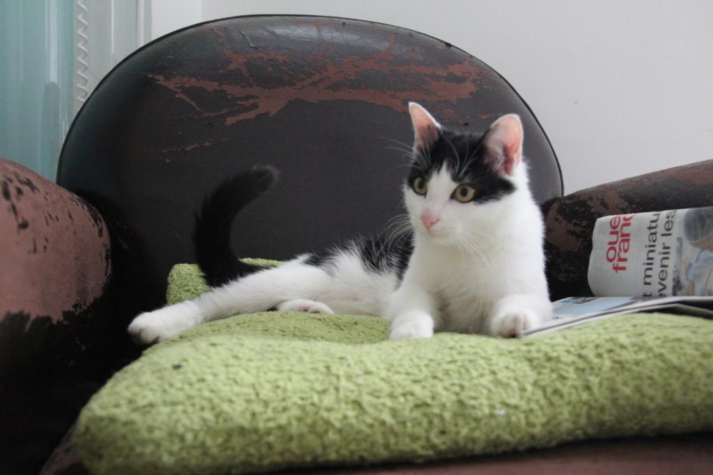 Obéron, chaton européen noir et blanc, né le 10/05/2018 Img_0222