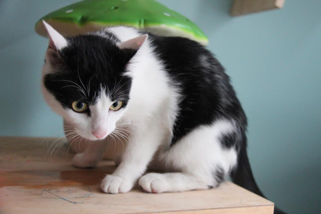 Obéron, chaton européen noir et blanc, né le 10/05/2018 Img_0224