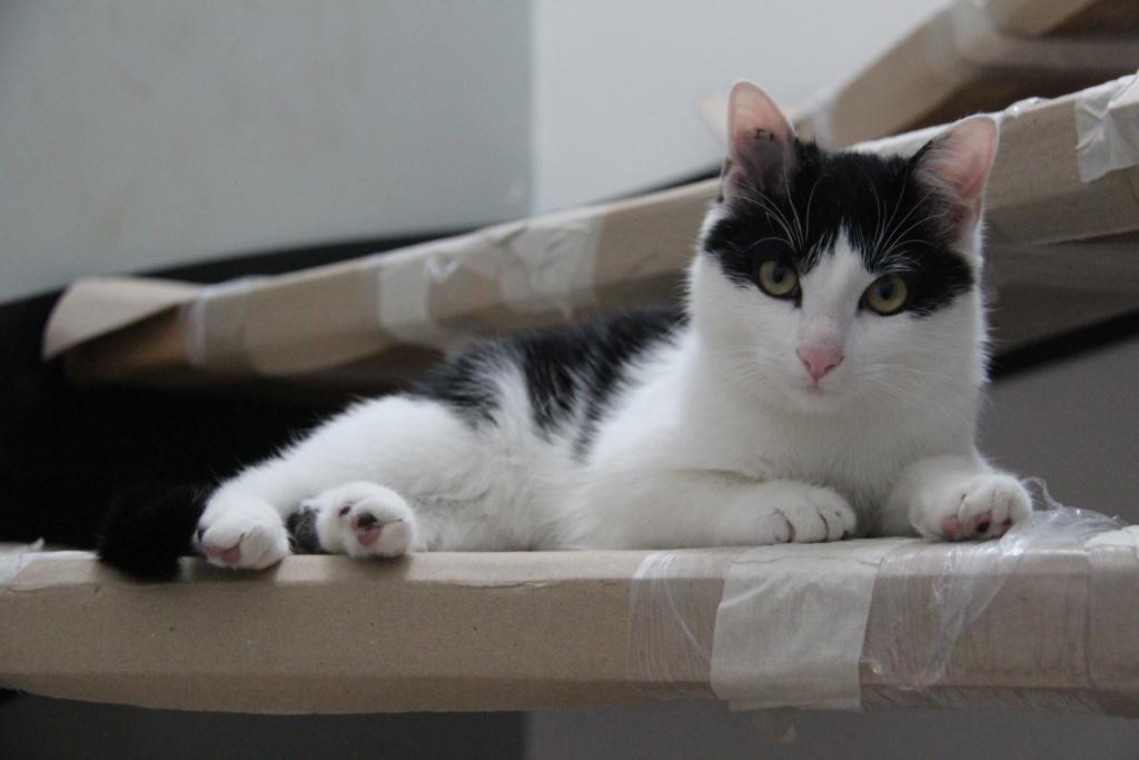 Obéron, chaton européen noir et blanc, né le 10/05/2018 Img_0225