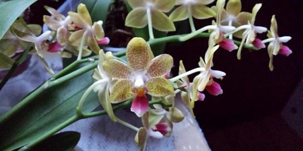 Orchideen-Neuzugang 2 - Seite 20 Aaa20112