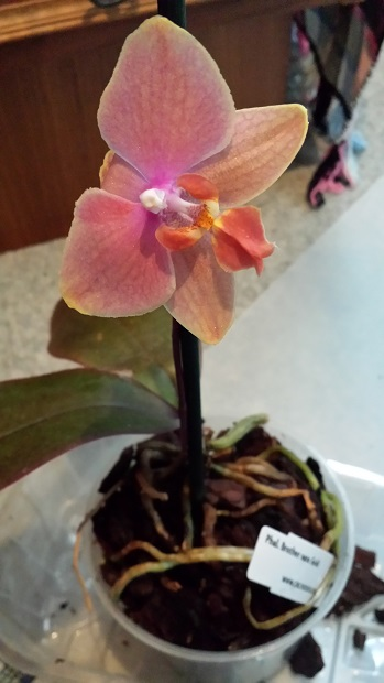 Orchideen-Neuzugang 2 - Seite 20 Aaa20114