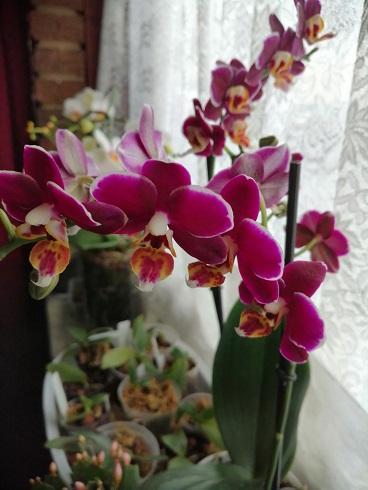 Orchideen-Neuzugang 2 - Seite 25 Img_2033
