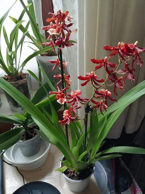Orchideen-Neuzugang 2 - Seite 29 Img_2095