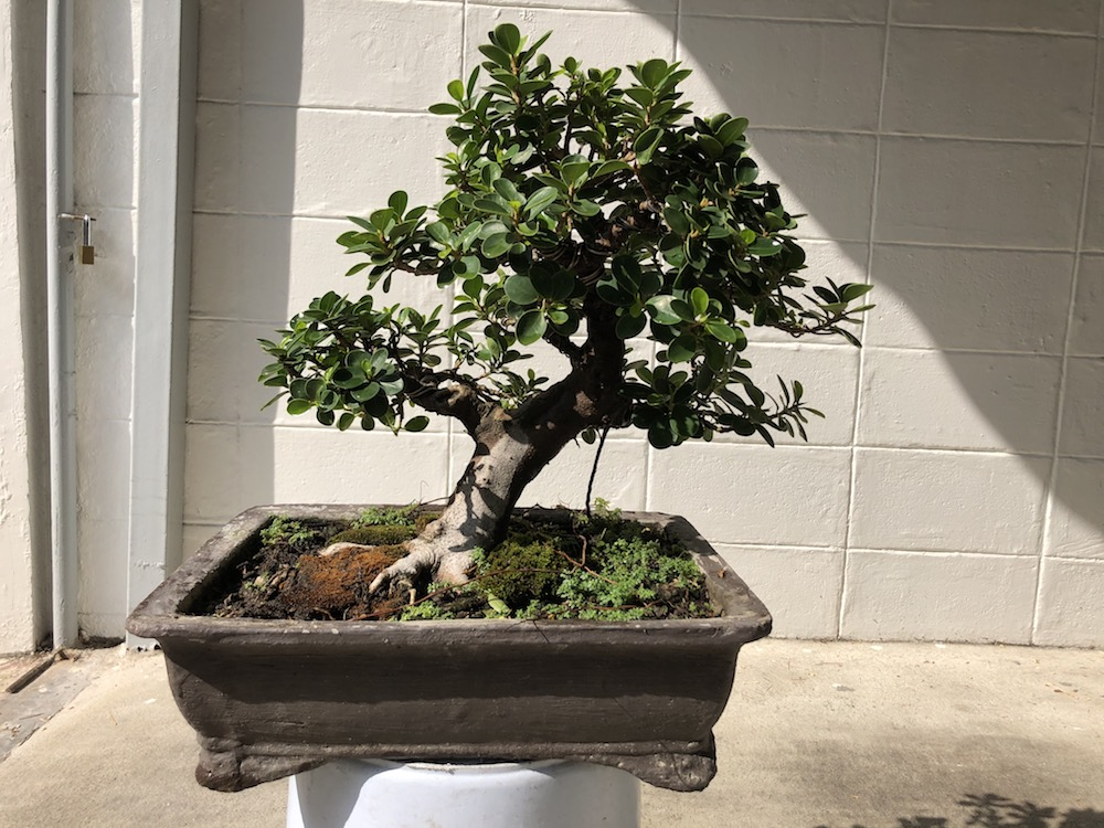 Indoor Bonsai under LED lights. - Page 18 Img_1910
