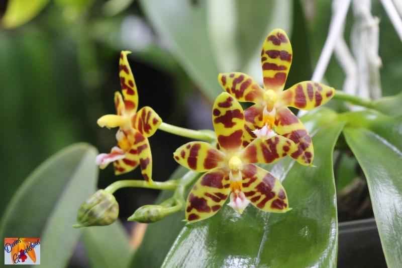 Phalaenopsis amboinensis x mannii (Mambo) Img_7213