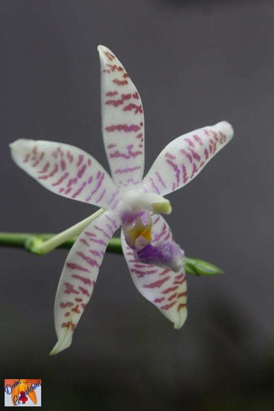 Phalaenopsis tetraspis x lueddemanniana (Telu) Img_7310