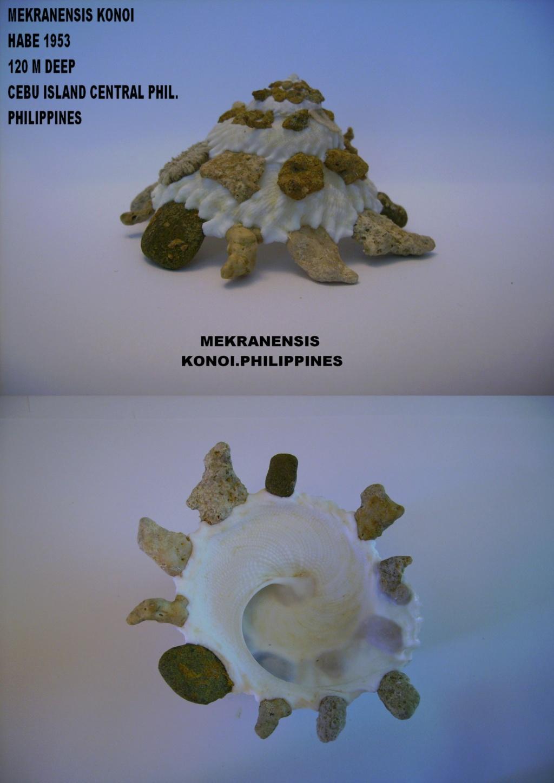 Les Xenophoridae 1413