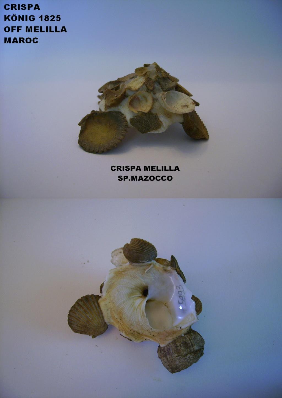 Les Xenophoridae 1813