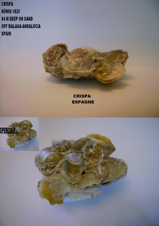 Les Xenophoridae 2113