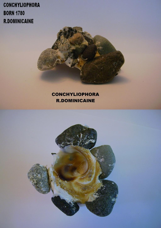 Les Xenophoridae 2612