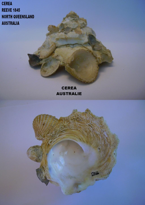 Les Xenophoridae 3311
