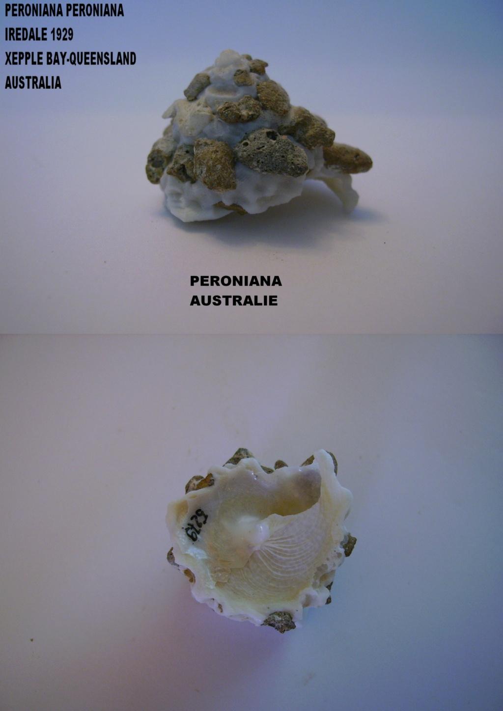 Les Xenophoridae 4011