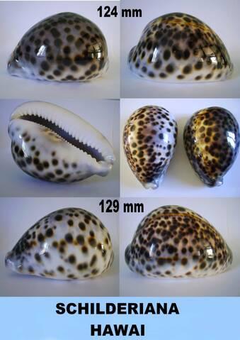 Cypraea_tigris_tigris_Linnaeus, 1758 1610