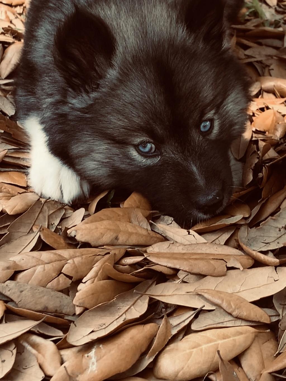 New husky!! 1f45d710
