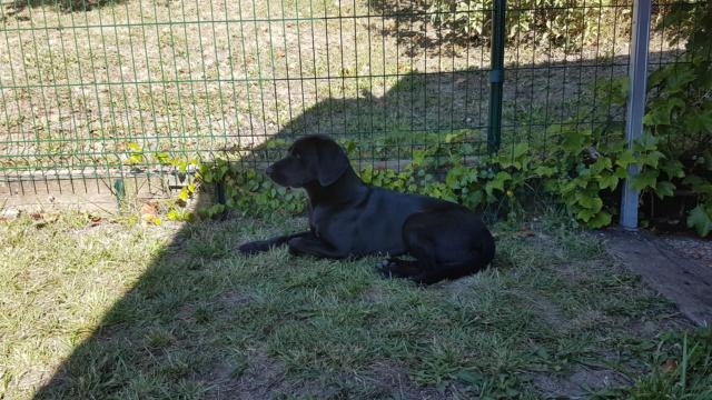 MAMBA (mâle croisé labrador/border) RÉSERVÉ  20200911