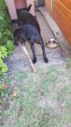 MAMBA (mâle croisé labrador/border) RÉSERVÉ  20200915