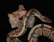 Le Serpent de la taille d'un bus 63538610