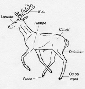 LES ANIMAUX DE LA FORET Anatom10