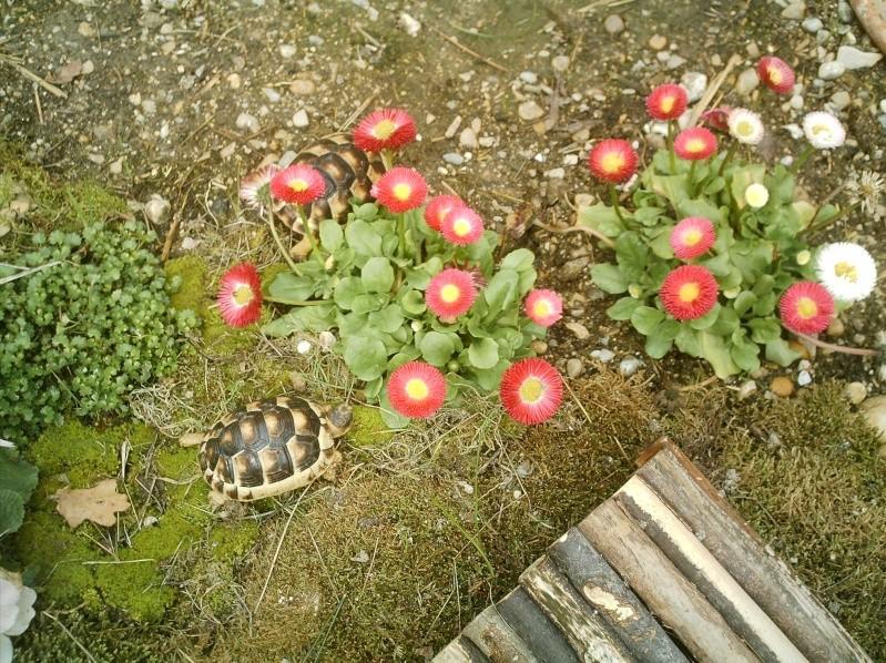 les tortues d eau et de terre(terrestre)... Annive13