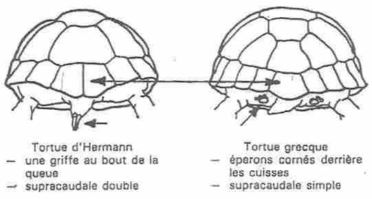 les tortues d eau et de terre(terrestre)... Diff110