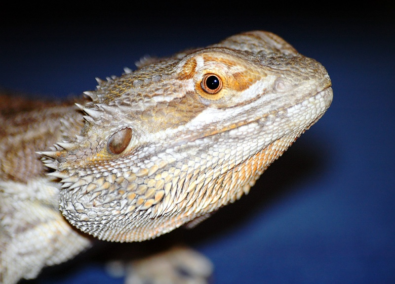 LES LEZARDS Dragon10