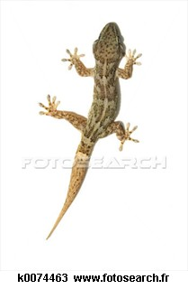 LES LEZARDS Gecko_10