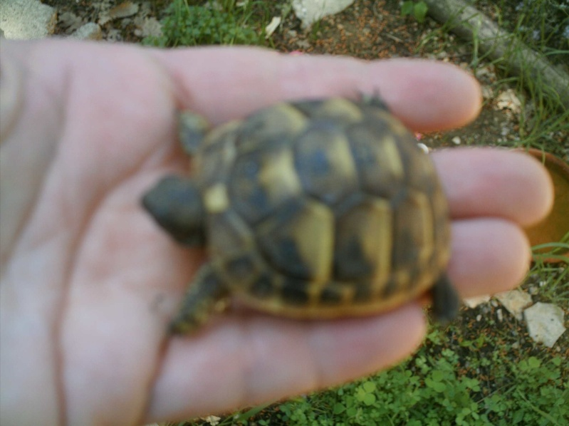 les tortues d eau et de terre(terrestre)... Griott15
