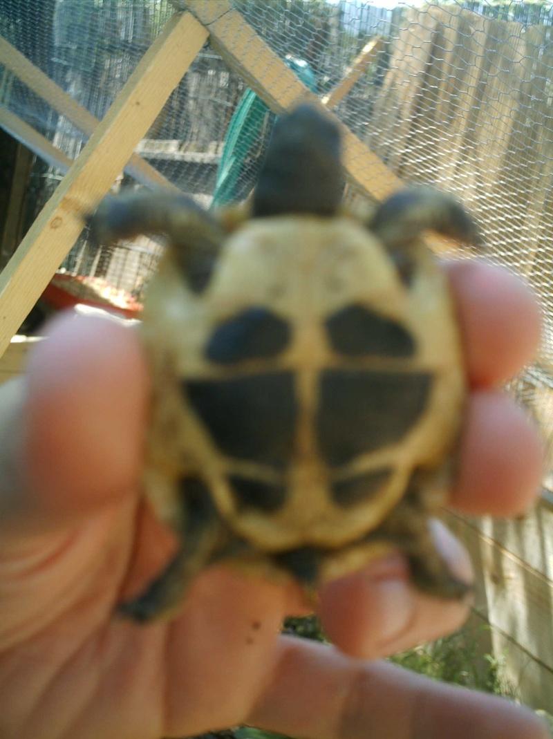 les tortues d eau et de terre(terrestre)... Griott16