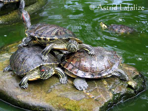 les tortues d eau et de terre(terrestre)... Tortue10