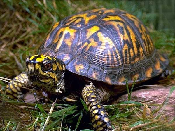 les tortues d eau et de terre(terrestre)... Tortue11