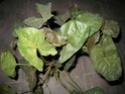 Appel à tous pour une photo de Syngonium Promes16