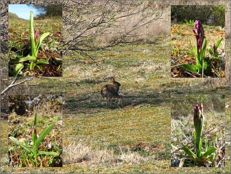 Anacamptis laxiflora ( Orchis à fleurs lâches ) Lapin_10