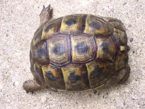 Identification de mes tortues Romal010