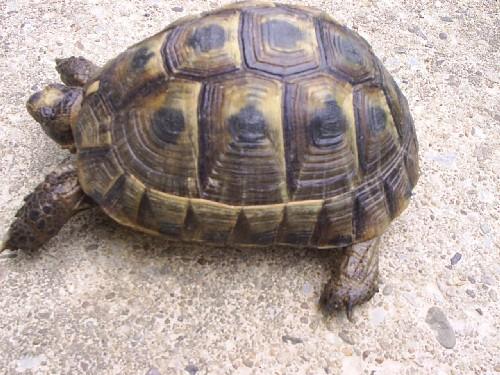 Identification de mes tortues Romal012