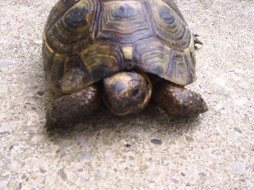 Identification de mes tortues Romal015
