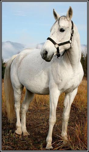 """• Mission """"création de chevaux"""". - Page 3 Arabes10"""