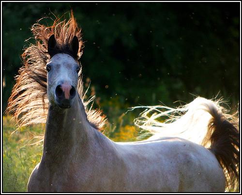 """• Mission """"création de chevaux"""". - Page 3 Arabes11"""