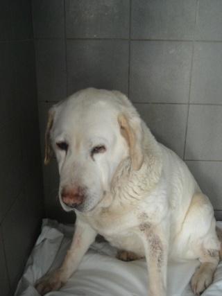 PISTACHE, femelle Labrador 10 ANS - tumeur à la mâchoire Lab10