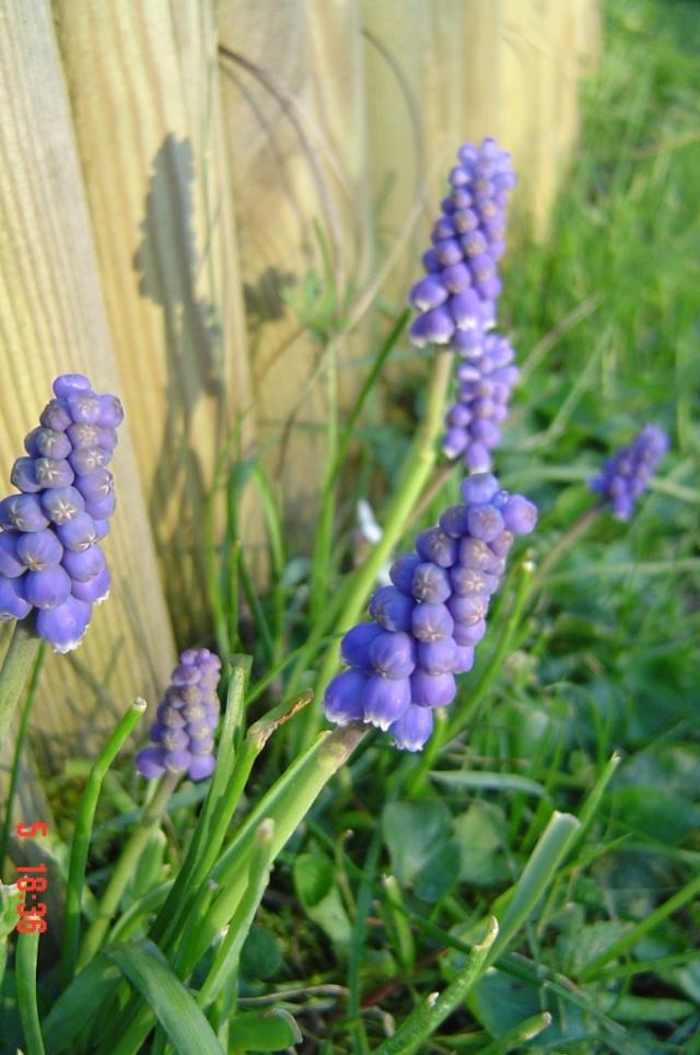 Le printemps  dans mon jardin Dsc06410