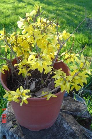 Le printemps  dans mon jardin Dsc06411
