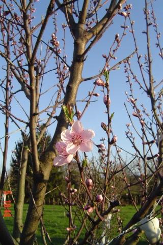 Le printemps  dans mon jardin Dsc06414