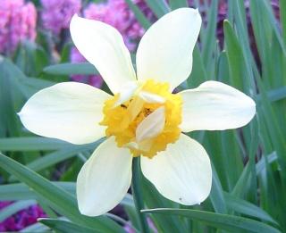 Le printemps  dans mon jardin Dsc06415