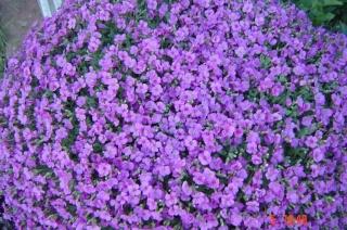 Le printemps  dans mon jardin Dsc06416